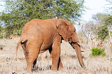 Elephant (Loxodonta africana), Tsavo East, Kenya, East Africa, Africa