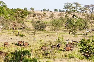 Herd of African Buffaloes (Syncerus caffer), Taita Hills Wildlife Sanctuary, Kenya, East Africa, Africa