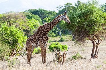 Male Maasai giraffe (Giraffa tippelskirchi), Tsavo East National Park, Kenya, East Africa, Africa