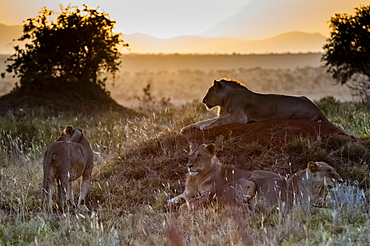 Young male lions (Panthera leo) in the bush, Tsavo East National Park, Kenya, East Africa, Africa