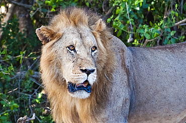 Male lion (Panthera leo) in the bush, Tsavo East National Park, Kenya, East Africa, Africa