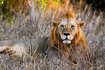 Male lion (Panthera leo) in the bush, Taita Hills Wildlife Sanctuary, Kenya, East Africa, Africa