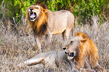 Two male lions (Panthera leo) in the bush, Taita Hills Wildlife Sanctuary, Kenya, East Africa, Africa