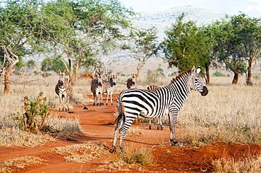Plains zebras (Equus quagga), Taita Hills Wildlife Sanctuary, Kenya, East Africa, Africa