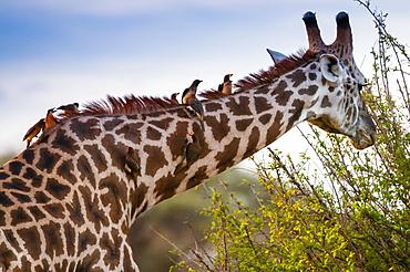 Male Maasai giraffe (Giraffa tippelskirchi), Oxpeckers (Buphagus erythrorhynchus) on his neck, Tsavo East National Park, Kenya, East Africa, Africa