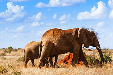 Female Elephant and two year old calf (Loxodonta africana), Tsavo East National Park, Kenya, East Africa, Africa