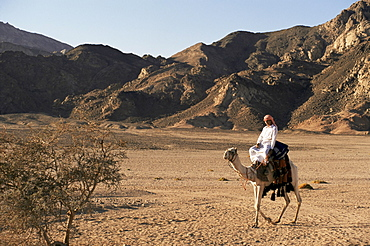 Bedouin man riding camel, Sinai, Egypt, North Africa, Africa