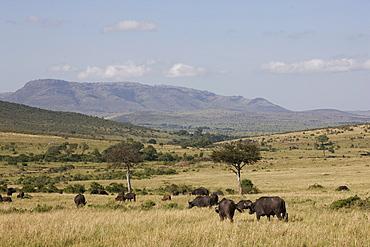 African buffalo (Syncerus caffer), Masai Mara National Reserve, Kenya, East Africa, Africa