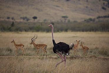 Maasai ostrich (Struthio camelus) and impala (Aepyceros melampus), Masai Mara National Reserve, Kenya, East Africa, Africa