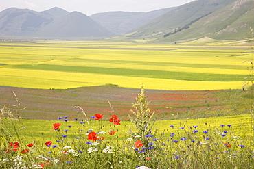Lentil fields, Highland of Castelluccio di Norcia, Norcia, Umbria, Italy, Europe