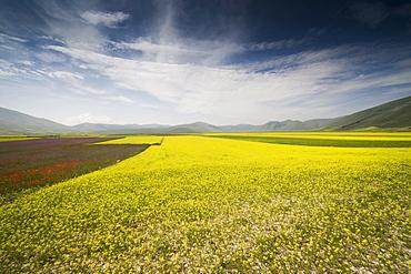 Fields of lentils, Highland of Castelluccio di Norcia, Norcia, Umbria, Italy, Europe