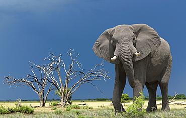 African elephant, Okavango Delta, Botswana, Africa
