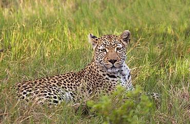 Leopard, Okavango Delta, Botswana, Africalocalized adjustment on leopards face/eyes to make it pop, global curves adjustment to increase contrast