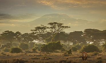 Lion under Mount Kilimanjaro in Amboseli National Park, Kenya, East Africa, Africa
