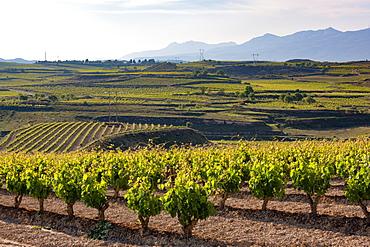 Vineyards in the Rioja region, Spain, Europe