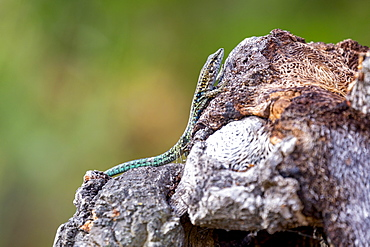 Tyrrhenian Wall Lizard on a rock near Santa Giulia beach, Corsica, France, Mediterranean, Europe