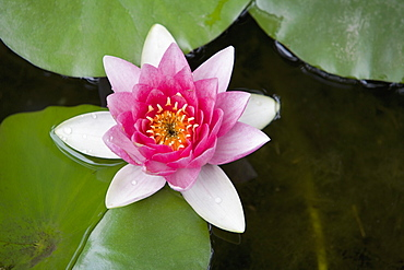 Pink water lily in pond, Jardin Botanico (Botanical Gardens), Valencia, Costa del Azahar, Spain, Europe