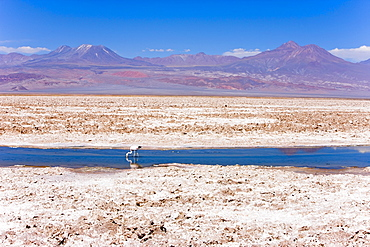 Flamingo breeding site, Laguna Chaxa, Salar de Atacama, Atacama Desert, Norte Grande, Chile, South America