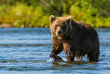 Grizzly bear (brown) bear (Ursus arctos), Moraine Creek (River), Katmai National Park and Reserve, Alaska, United States of America, North America
