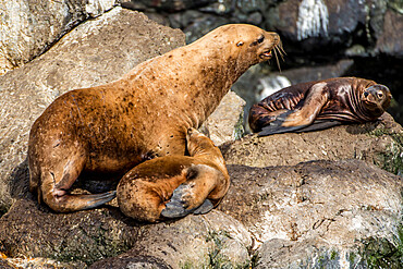 Northern fur seal (Callorhinus ursinus), Resurrection Bay, Kenai Fjords National Park, Alaska, United States of America, North America