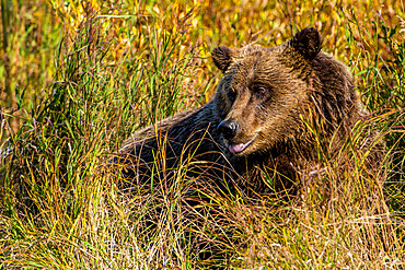 Grizzly (brown) bear (Ursus arctos) at Crescent Lake, Lake Clark National Park and Preserve, Alaska, United States of America, North America