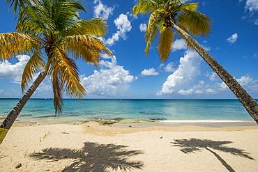 Palm trees on Sprat Hall Beach in Saint Croix, US Virgin Islands
