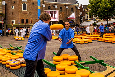 Loading Gouda onto cheese barrows, Alkmaar cheese market, Alkmaar, North Holland, Netherlands, Europe