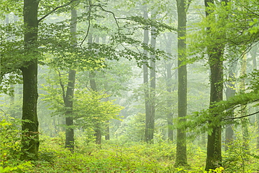 Deciduous woodland on a misty rainy day, Cornwall, England, United Kingdom, Europe