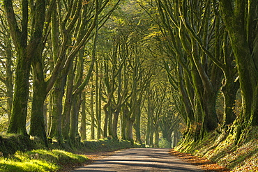 Morning light streaming through an avenue of beech trees near Bridestowe, Dartmoor, Devon, England, United Kingdom, Europe
