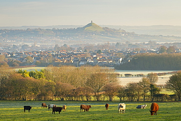 Cattle grazing on farmland near Glastonbury in winter, Somerset, England, United Kingdom, Europe