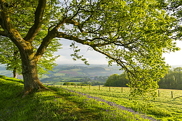 Oak tree growing above bluebells flowering on the ramparts of Cadbury Castle in Devon, England, United Kingdom, Europe