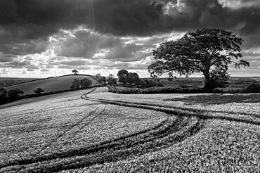 Summer crop field in rolling countryside, Crediton, Devon, England, United Kingdom, Europe