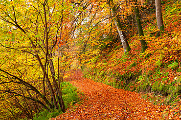 Woodland path through a deciduous forest in autumn, Watersmeet, Exmoor National Park, Devon, England.