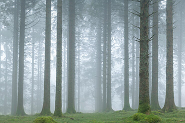 Foggy morning in a conifer woodland near Fernworthy Reservoir, Dartmoor, Devon, England. Winter (March) 2021.