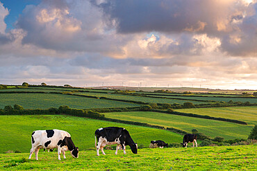 Dairy cattle grazing in a Cornish field at sunset in summer, St. Issey, Cornwall, England, United Kingdom, Europe