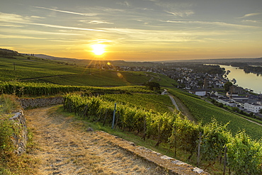 Vineyards at sunrise, Rudesheim, Rhineland-Palatinate, Germany, Europe