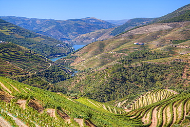 Vineyards and the Douro River, Alto Douro Wine Valley, UNESCO World Heritage Site, Portugal, Europe