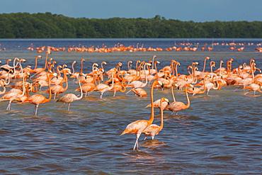 American Flamingos (Phoenicopterus ruber), Celestun Biosphere Reserve, Celestun, Yucatan, Mexico, North America