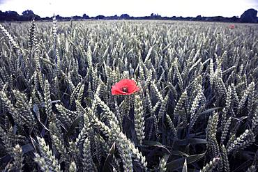 Poppy in a field of wheat, Norfolk, England, United Kingdom, Europe