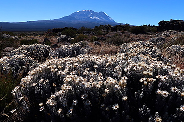 Kilimanjaro from the Shira Plateau, Tanzania, East Africa, AFrica