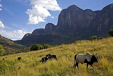 Zebu cattle, Tsaranoro Massif, southern Madagascar, Africa