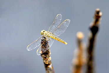 Dragonfly on stump, Kumarakom, Kerala, India, Asia
