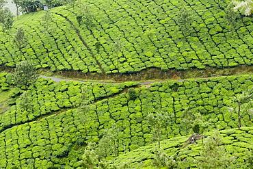 Tea gardens, Devikulam, Munnar, Kerala, India, Asia
