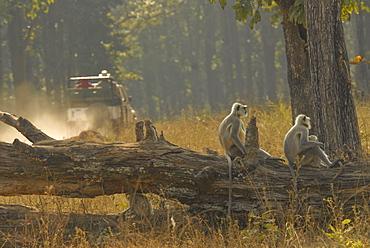 Hanuman Langurs in Kanha, Madhya Pradesh, India, Asia