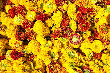 Cut yellow marigolds for sale in the early morning flower market, Jaipur, Rajasthan, India, Asia
