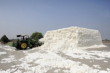 Cotton fibre, hand picked from local cotton fields, being transferred in bulk by digger into the factory for processing, Gujarat, India, Asia