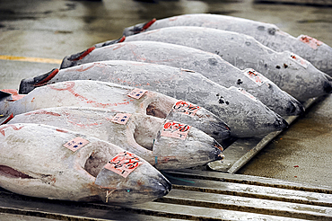 Tuna fish for auction in the early morning market of Tsukiji Shijo, the world's largest fish and seafood market, Tsukiji, Tokyo, Japan, Asia