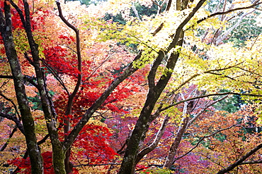 Glorious autumn leaf colour in the Japanese maple trees in Ginkakuji (Silver Pavilion) Zen temple garden, Kyoto, Japan, Asia