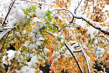 First fall of snow onto maple leaves still showing autumn colours, outside Kubota Itchiku Kimono Museum, Fujikawaguchiko, Japan, Asia