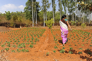 Woman overseeing plot of cultivated cabbages growing in the fertile red soil of Desia Koraput, Odisha, India, Asia